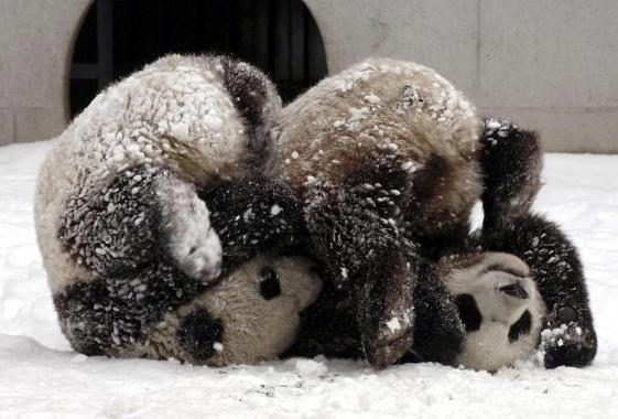 Tuan Tuan og Yuan Yuan boltrer seg i snøen.