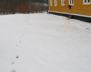 Ulvespor i snøen rundt hovedhuset