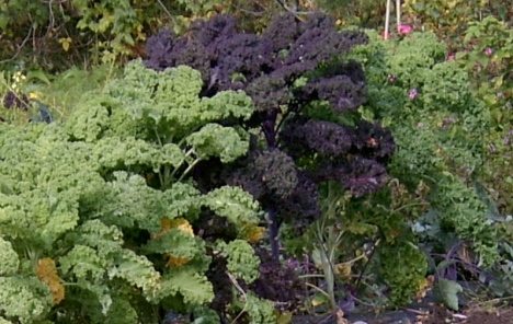 Her er grønnkål i hagen min. Den lilla varianten i midten, vanlig grønn på hver side