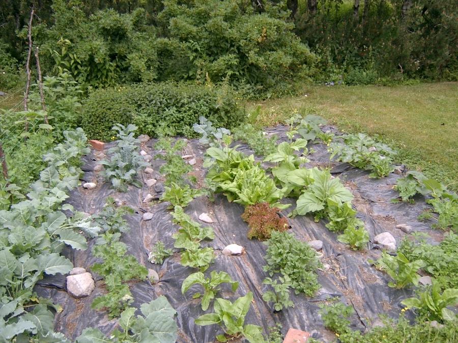 Grønnsakhagen min i begynnelsen av juli