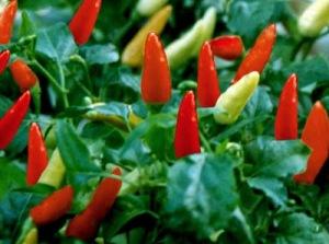 spansk pepper
