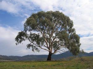 Eukalyptus fra New South Wales. Kilde: Wikipedia Commons