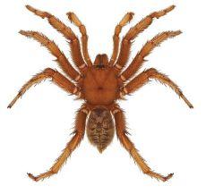 aptostichus_barackobamai_holotype